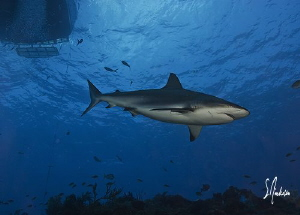 Reef Sharks might know the sounds of boats....They are a ... by Steven Anderson 